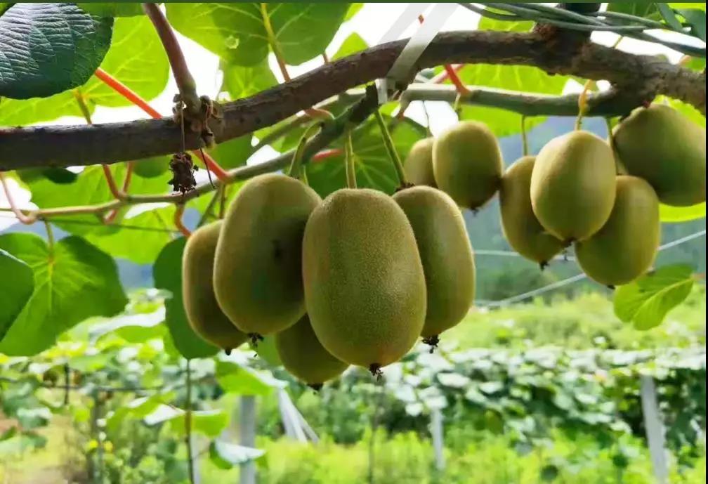 【每周优品】自然种植~口感独特~察隅猕猴桃!